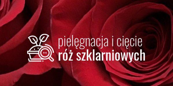Pielęgnacja i cięcie róż szklarniowych