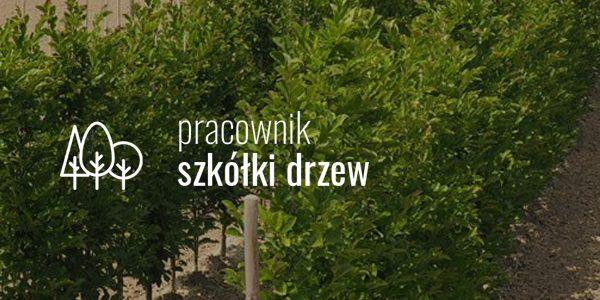 Pracownik szkółki drzewek