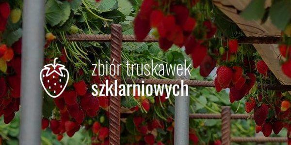 Zbiór truskawek szklarniowych
