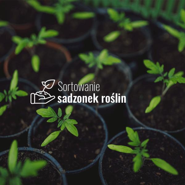 Sortowanie sadzonek roślin