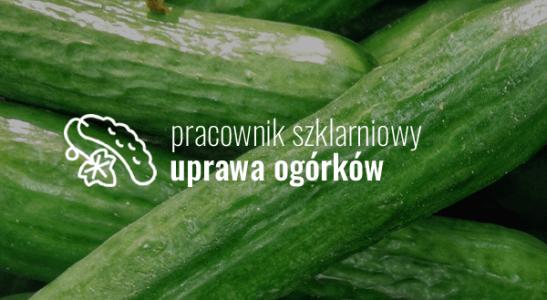 Pracownik szklarniowy – uprawa ogórków
