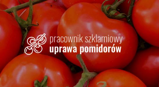 Pracownik szklarniowy – uprawa pomidorów