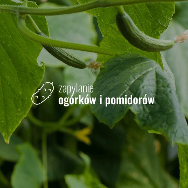 Zapylanie ogórków i pomidorów