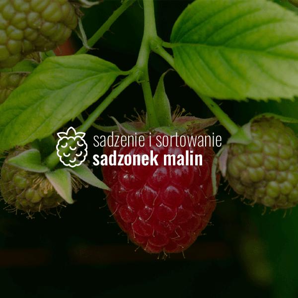 Sadzenie i sortowanie sadzonek malin