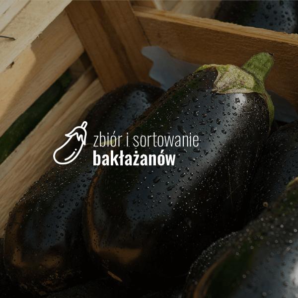 Zbiór i sortowanie bakłażanów