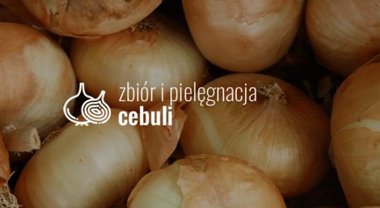 Zbiór i pielęgnacja cebuli